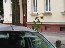 Sonnenblumenallee 06.04.2020